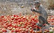 monkey-tomato