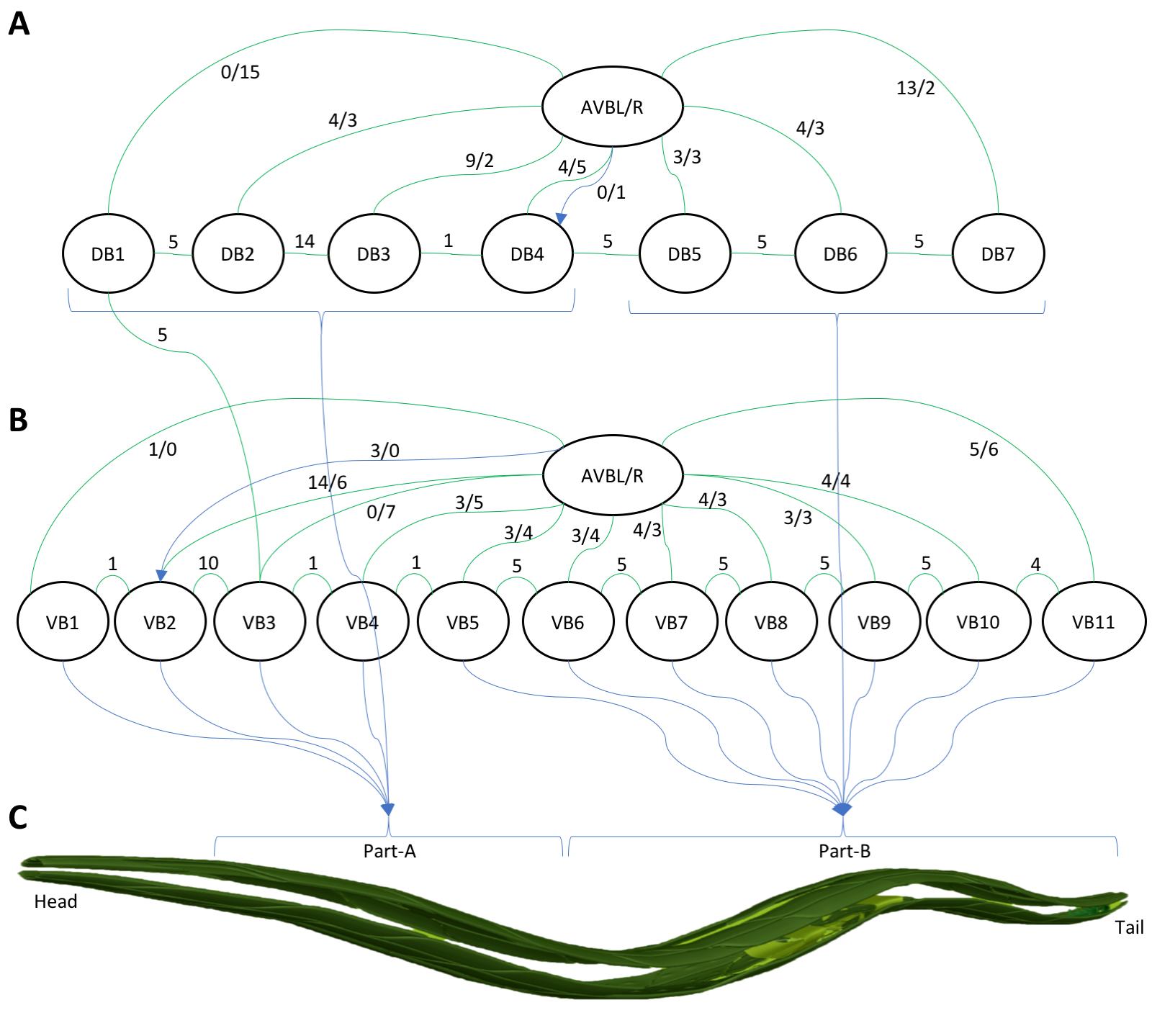 openworm-pic2-avb-to-bmotorneurons