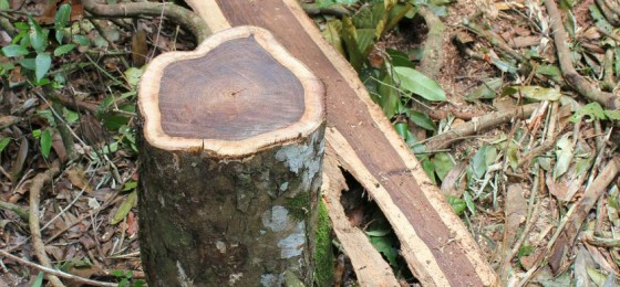 rosewood-stump-and-wastage-560x260