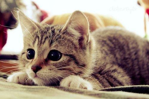 aww-cat-cute-kitten-favim com-288946_large