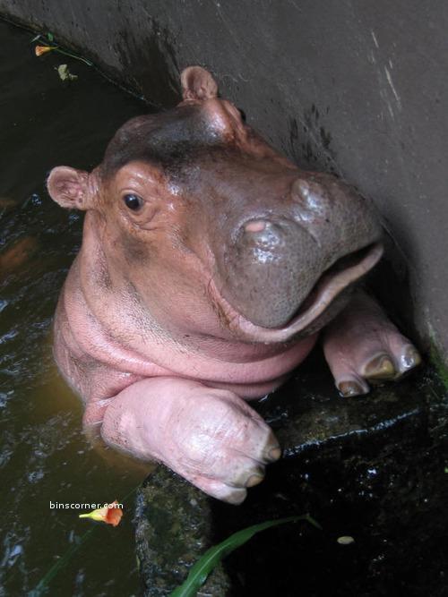 baby-hippo-hippos-24490777-500-667